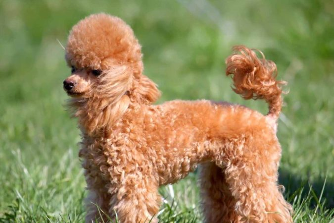 Feeding Poodle dogs according to diet